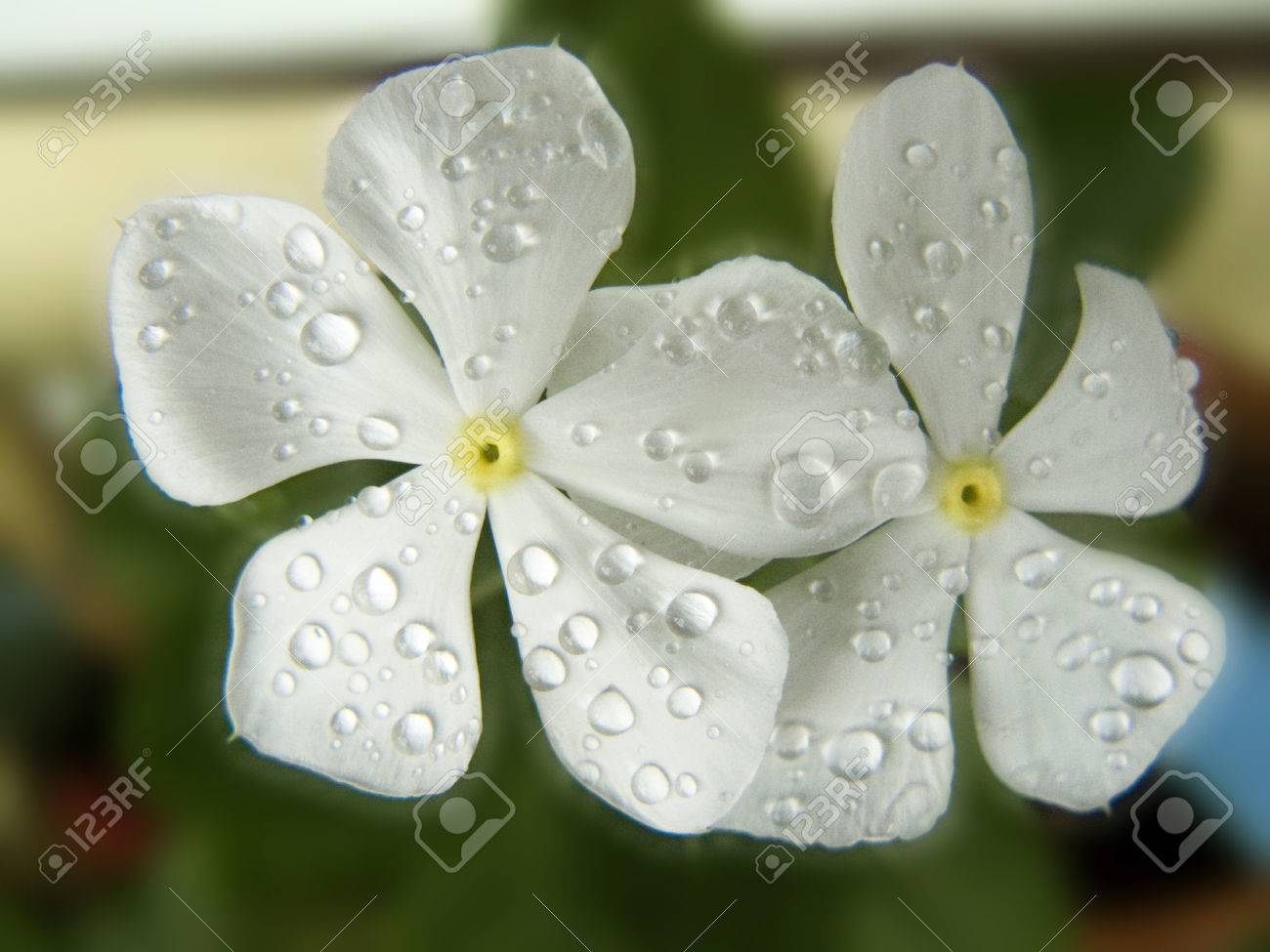 Close Up Of White Vinca Flower Madagascar Periwinkle Old Maid
