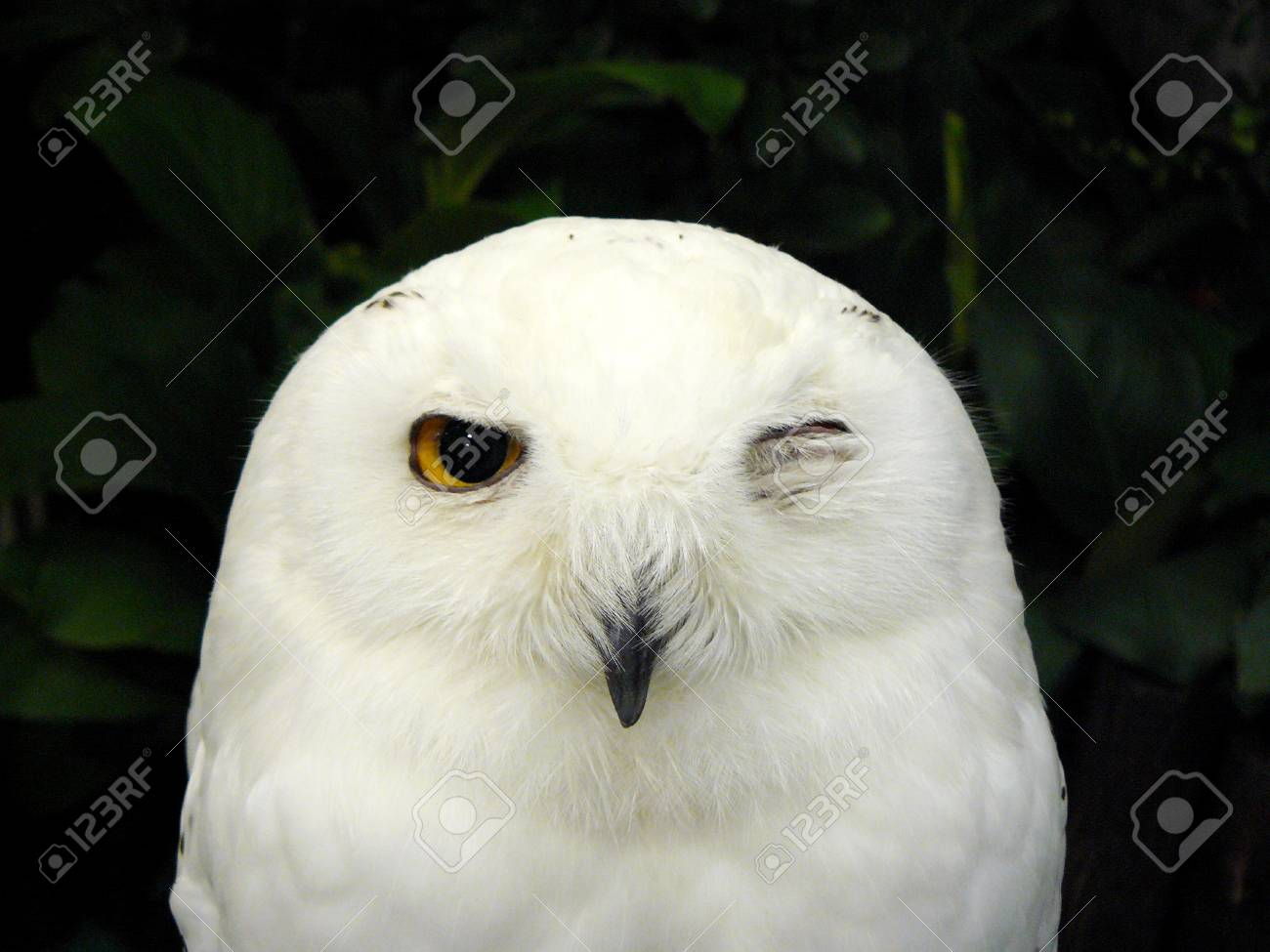 Image of: Baby Owl Close Up Face Of Cute Snowy Owl bubo Scandiacus It Is One Of Largest 123rfcom Close Up Face Of Cute Snowy Owl bubo Scandiacus It Is One Of