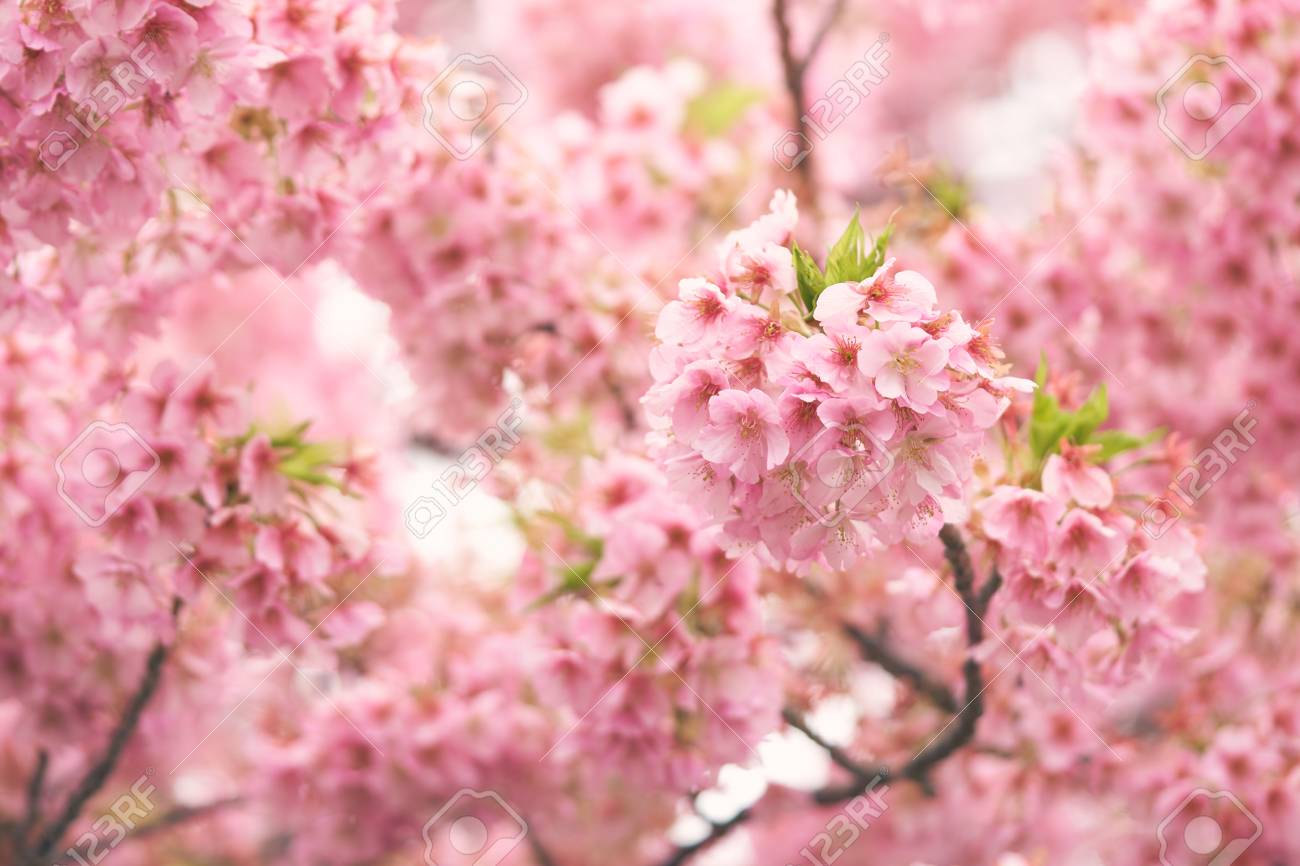 pink cherry blossom cherry blossom japanese flowering cherry