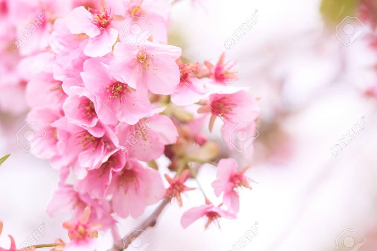 Pink cherry blossomcherry blossom japanese flowering cherry pink cherry blossomcherry blossom japanese flowering cherry on the sakura tree mightylinksfo