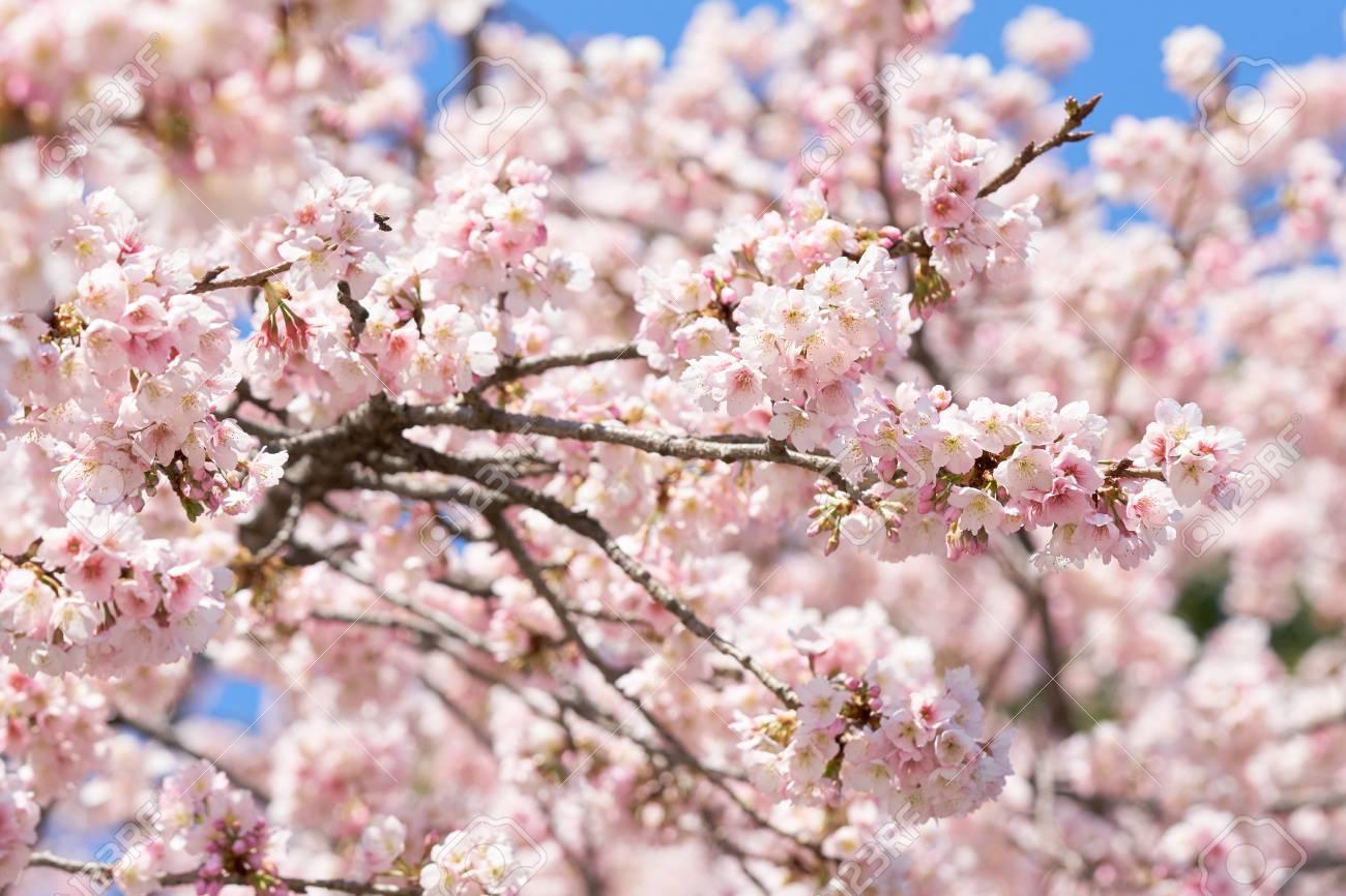 Pink Cherry Blossom Cherry Blossom Japanese Flowering Cherry