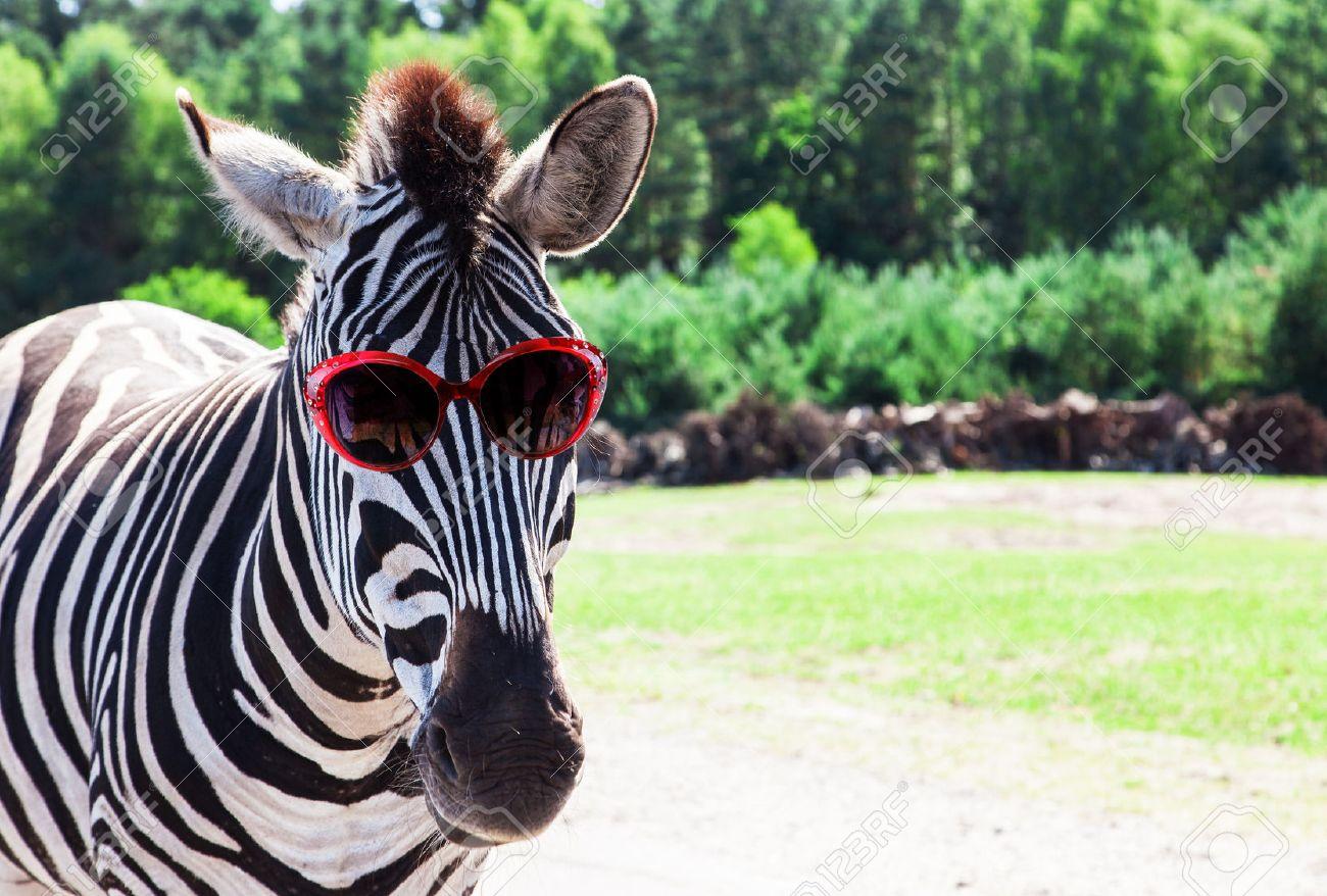 image drole zebre