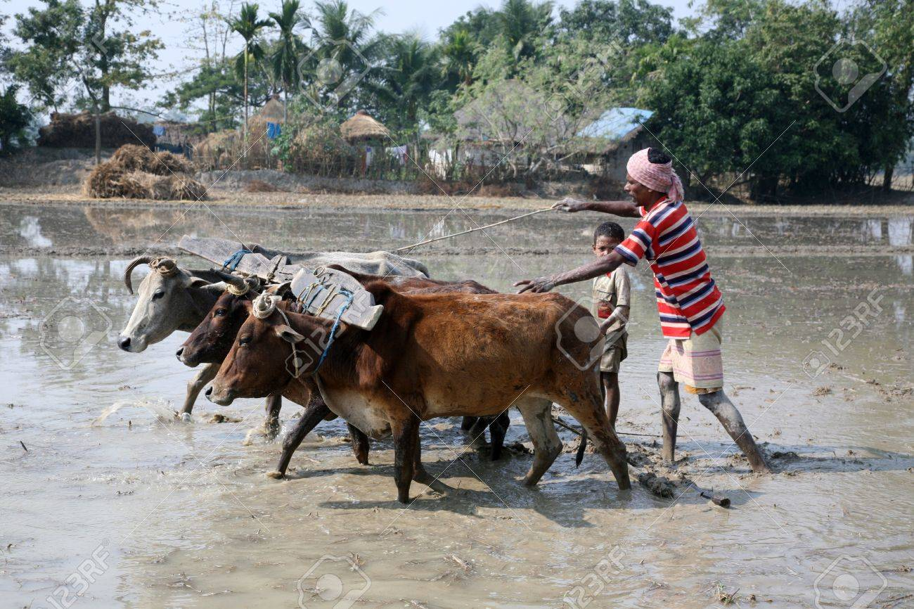 GOSABA, INDIA - JANUARY 19 : Farmers plowing agricultural field in traditional way where a plow is attached to bulls on January 19, 2019 in Gosaba, West Bengal, India. Stock Photo - 10887959