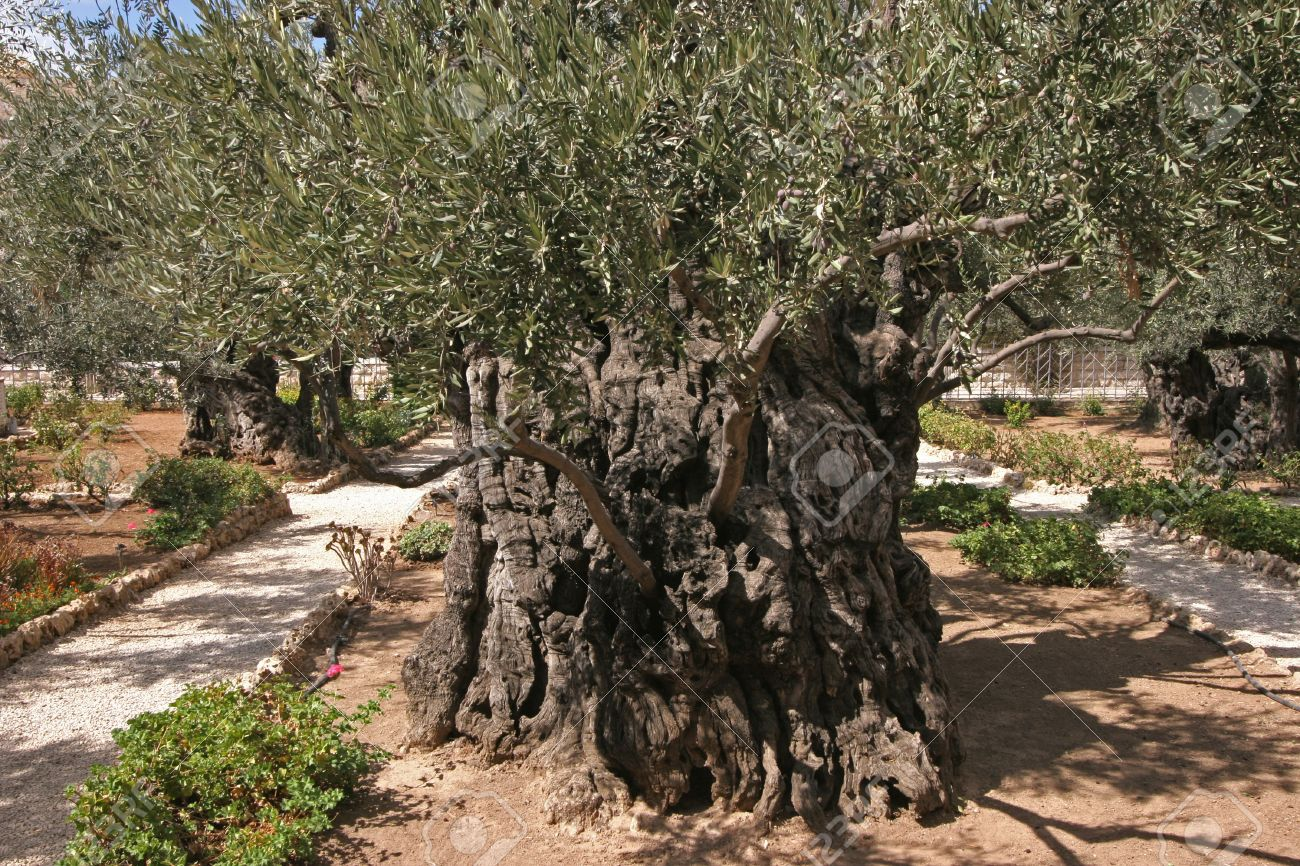 Jerusalem-Garden Of Gethsemane Stock Photo, Picture And Royalty Free
