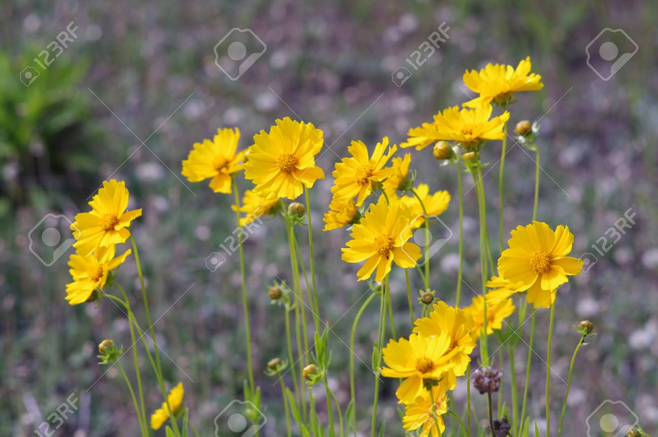 Beautiful Yellow Flowers In The Meadow Stock Photo Picture And
