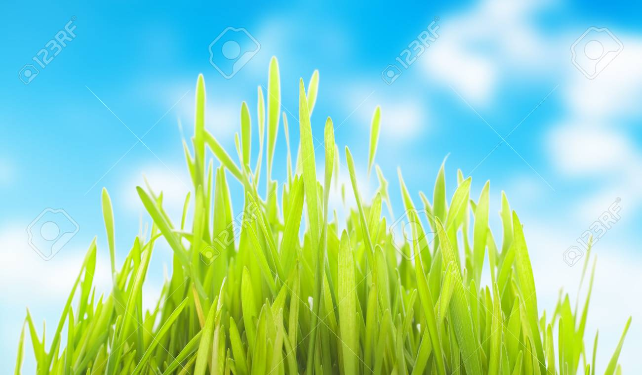 young wheat sprouts on a cloudu sky background Stock Photo - 25582873