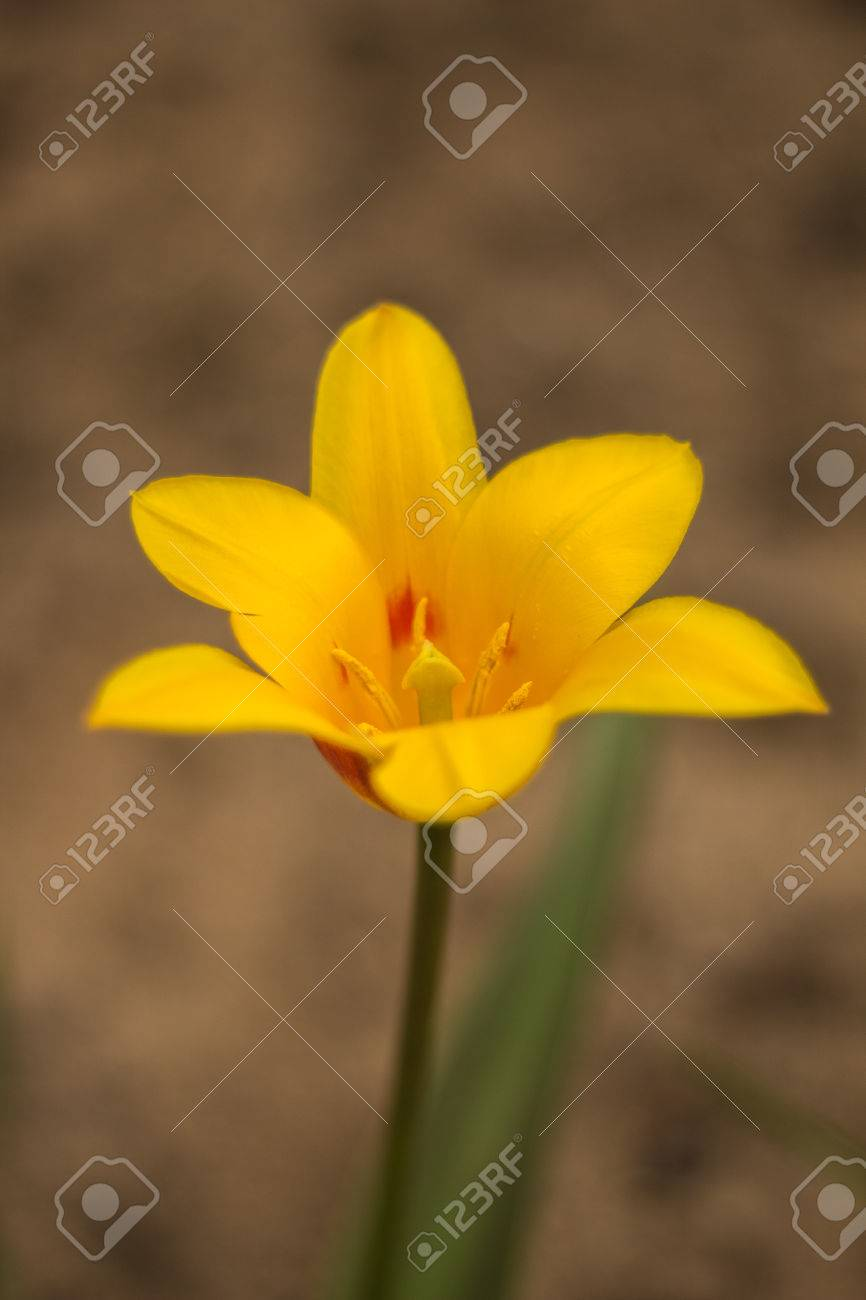 Bright Yellow Flowering Tulip Bud With Five Petals Stock Photo