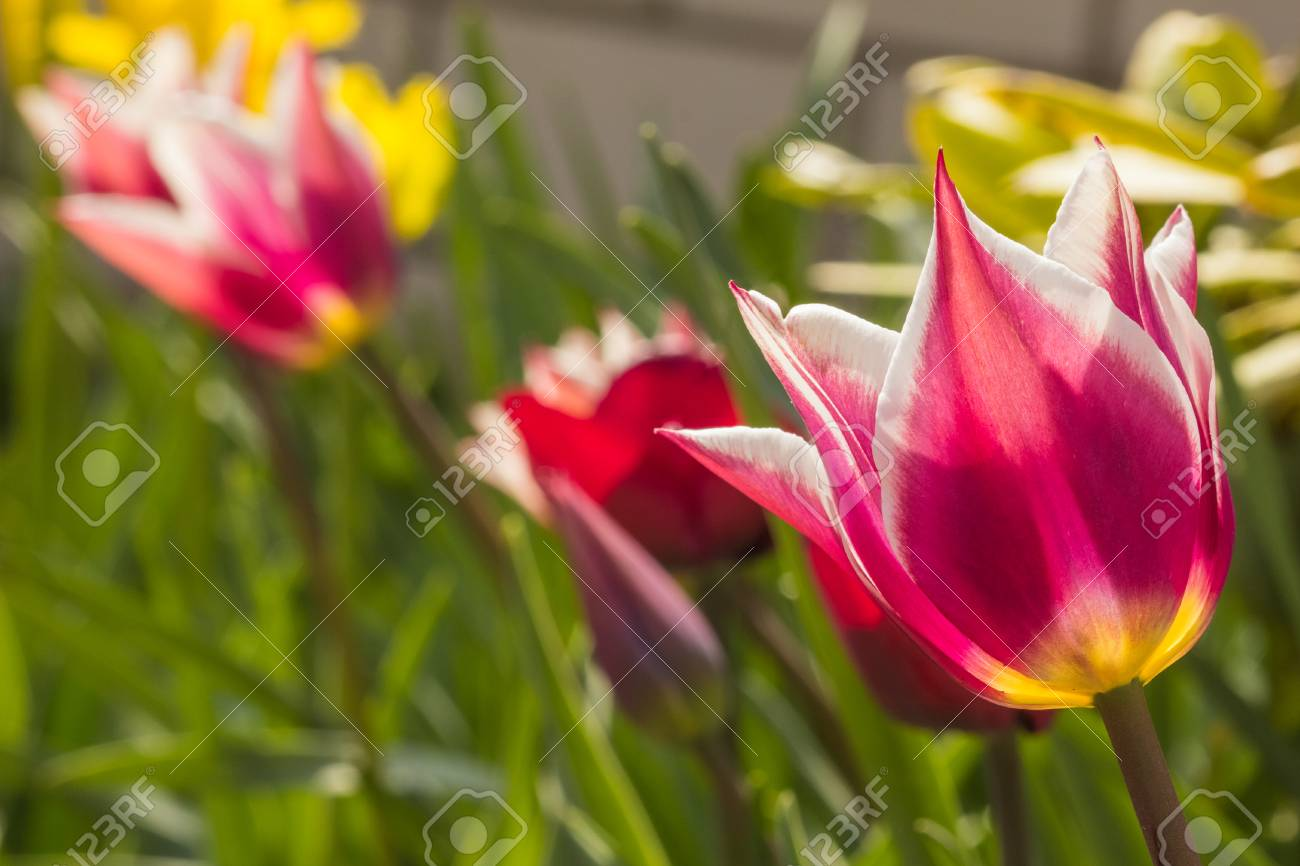 Beautiful flower bud tulip close up on a background of greenery beautiful flower bud tulip close up on a background of greenery and flowers stock photo izmirmasajfo