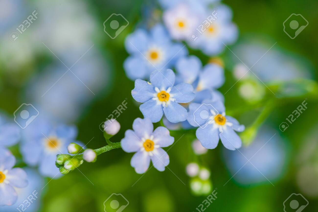 Macro of tiny blue flowers forget-me-not and colorful grass background in nature. Close up. - 116174183
