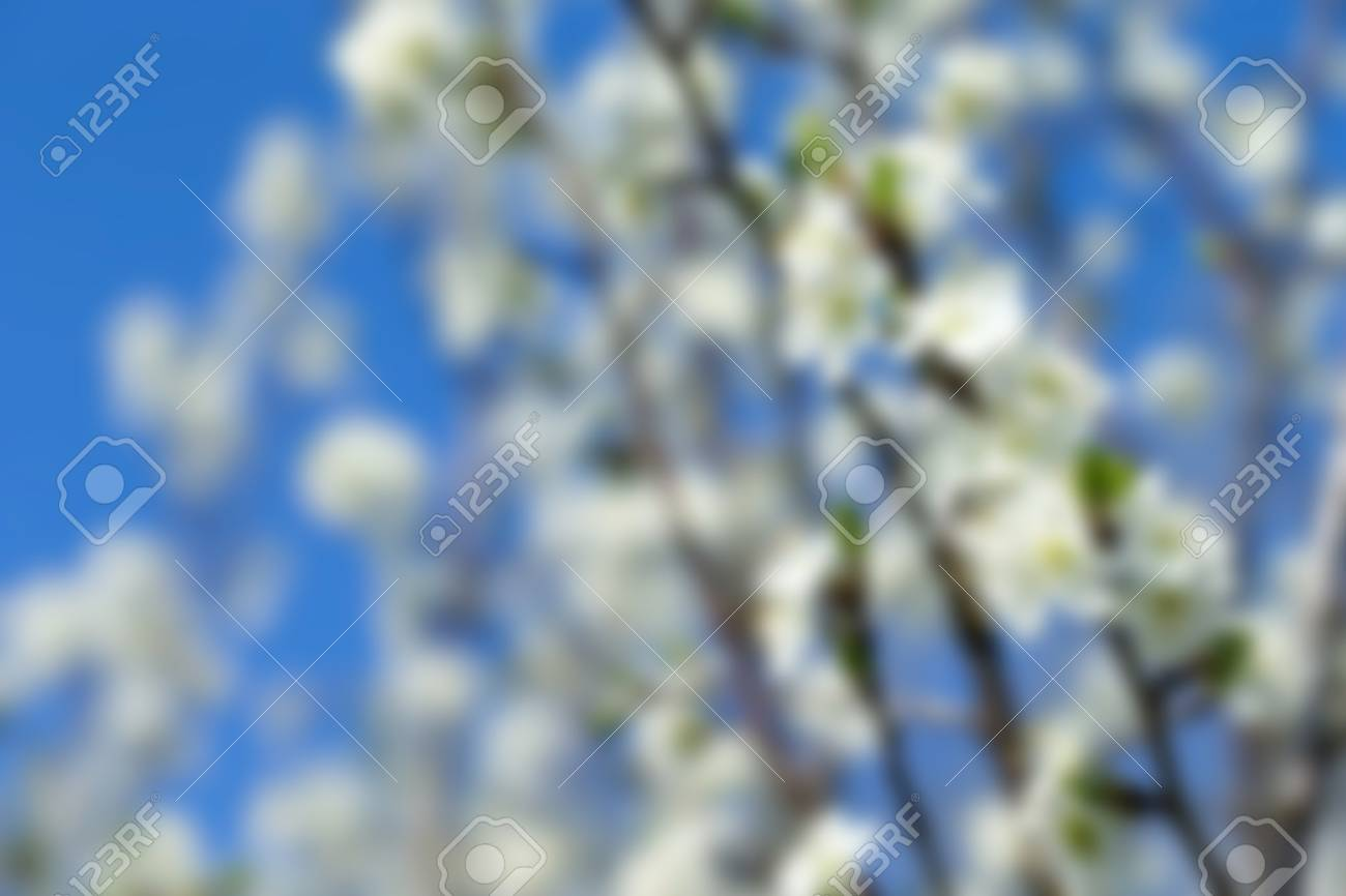 White Tree Flowers In Spring Stock Photo Picture And Royalty Free