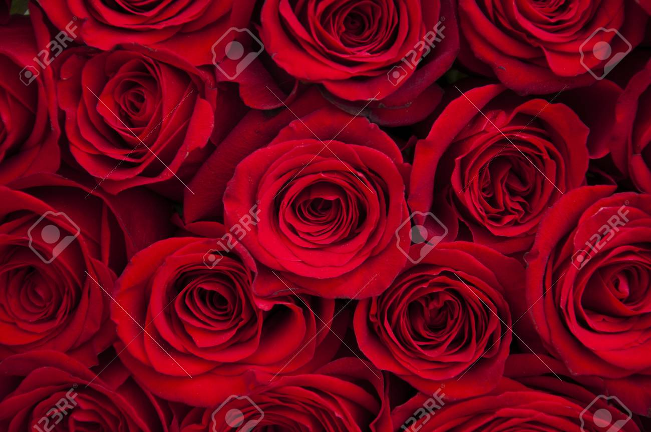 Beautiful Red Roses Flowers Background Stock Photo Picture And