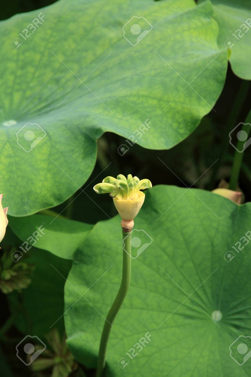 Thousand Petalled Lotus Stock Photo Picture And Royalty Free Image