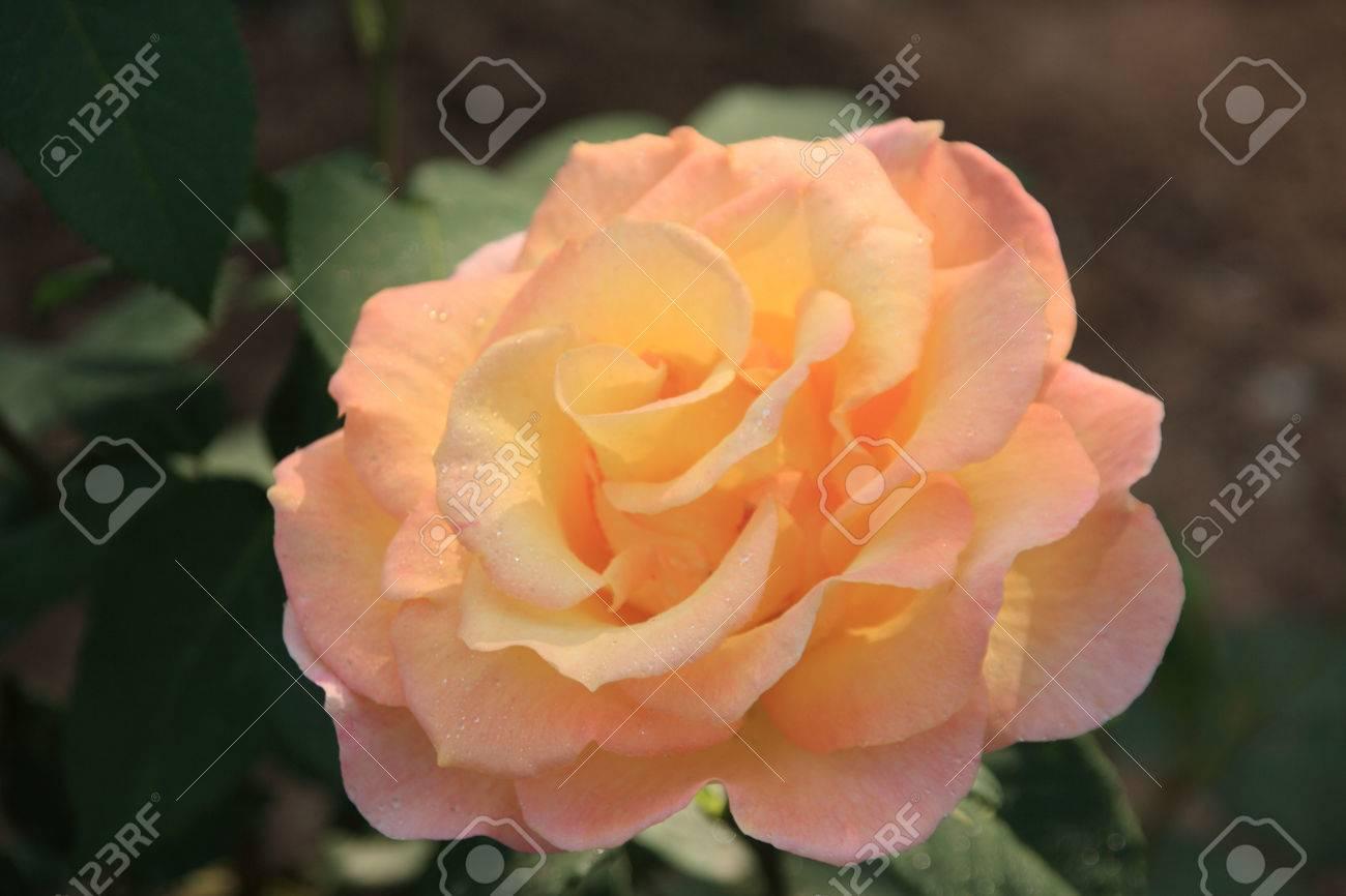 Phoenix Rose nude 304