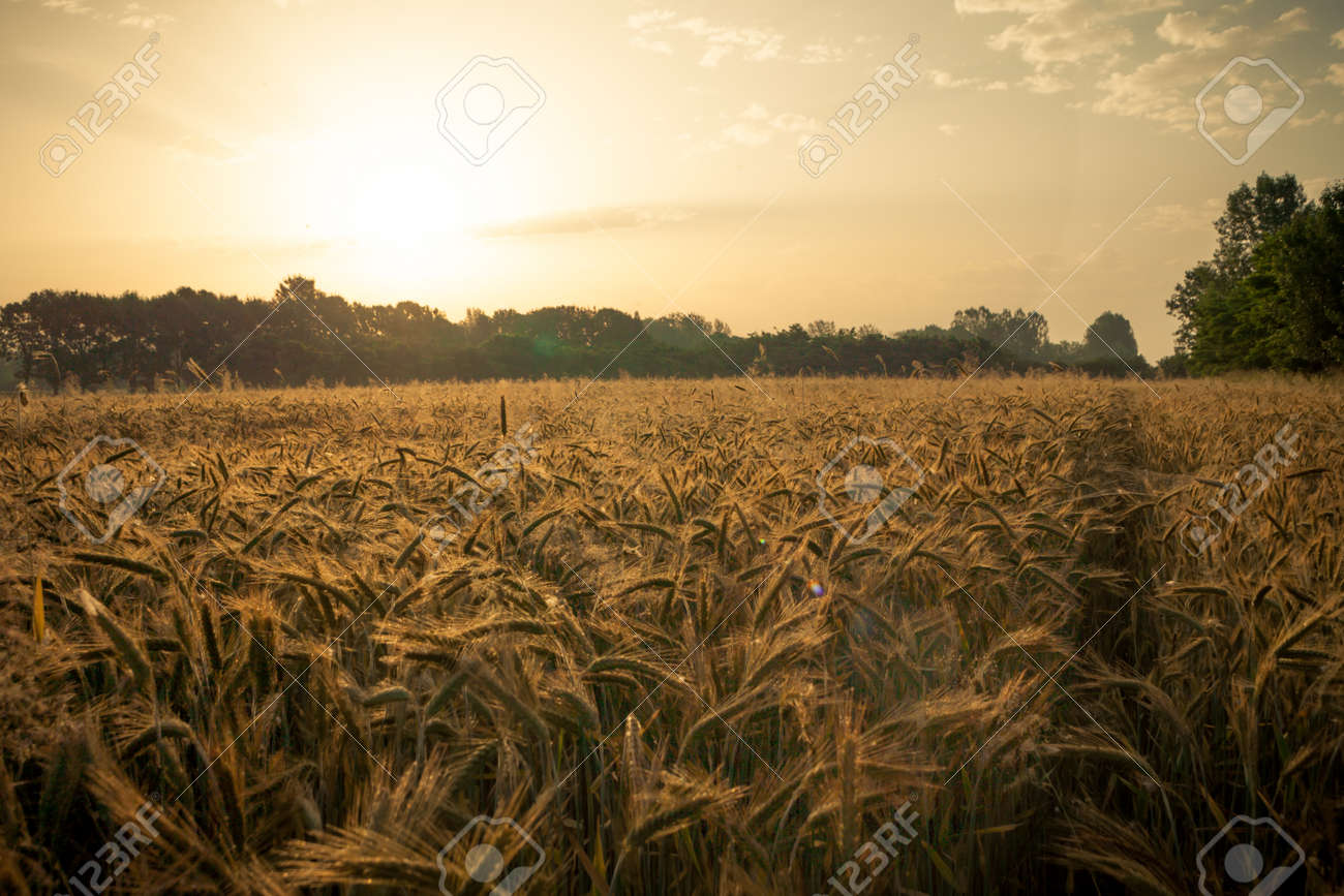 Wheat field in the early morning. Golden ears of wheat sunlit. Wheat field with blue and golden sky and trees. - 143439735