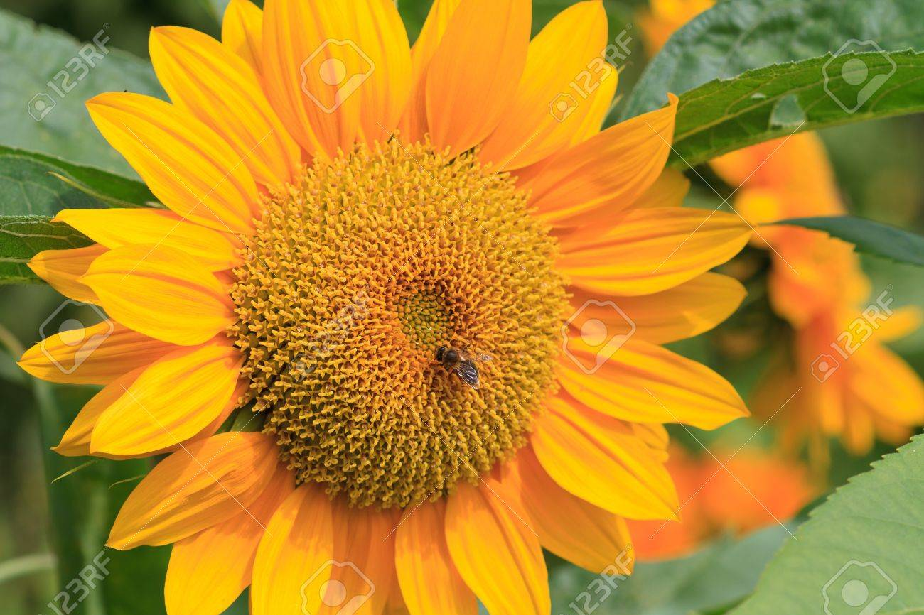 Sun flower with bee close up Stock Photo - 11082040