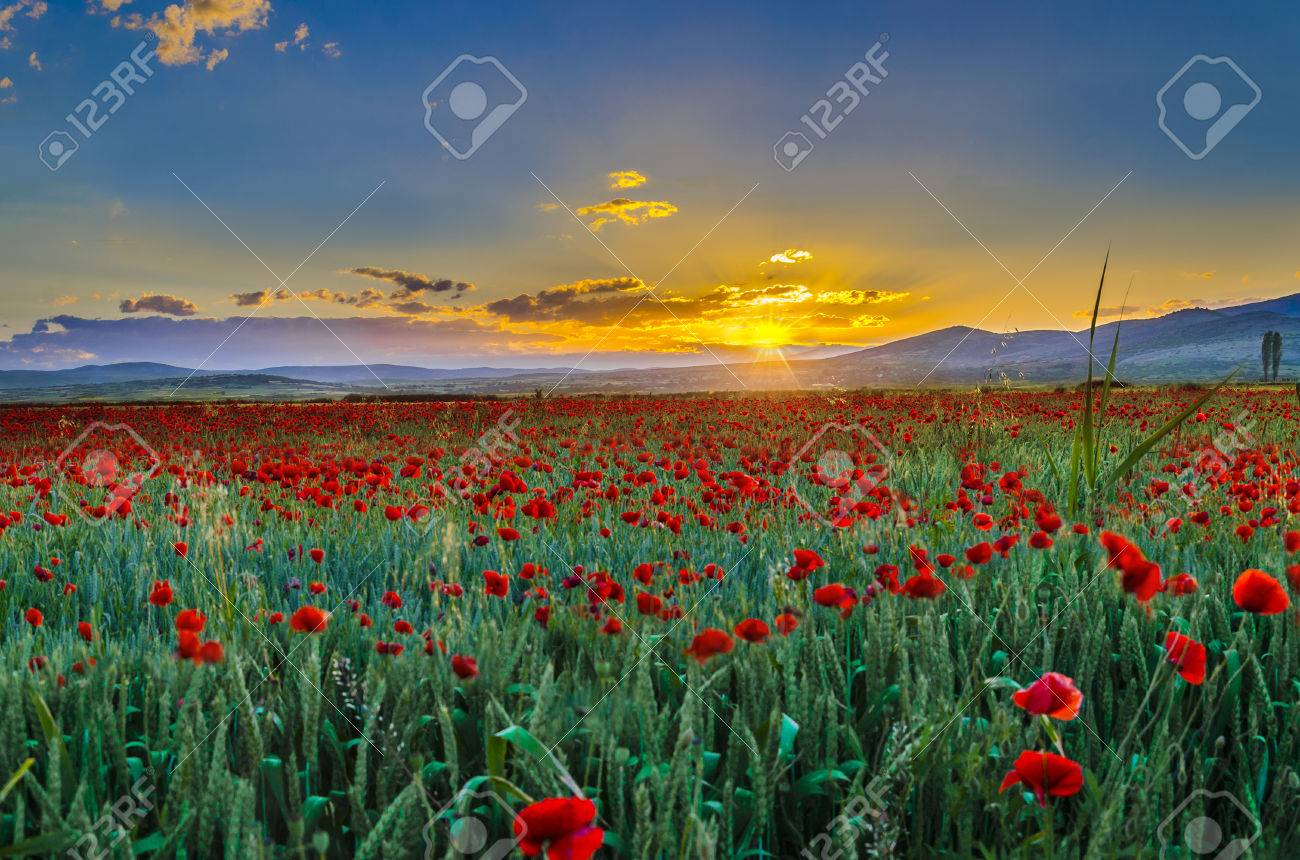flower field sunset. Sunset Is In The Flower Field Stock Photo - 27523228
