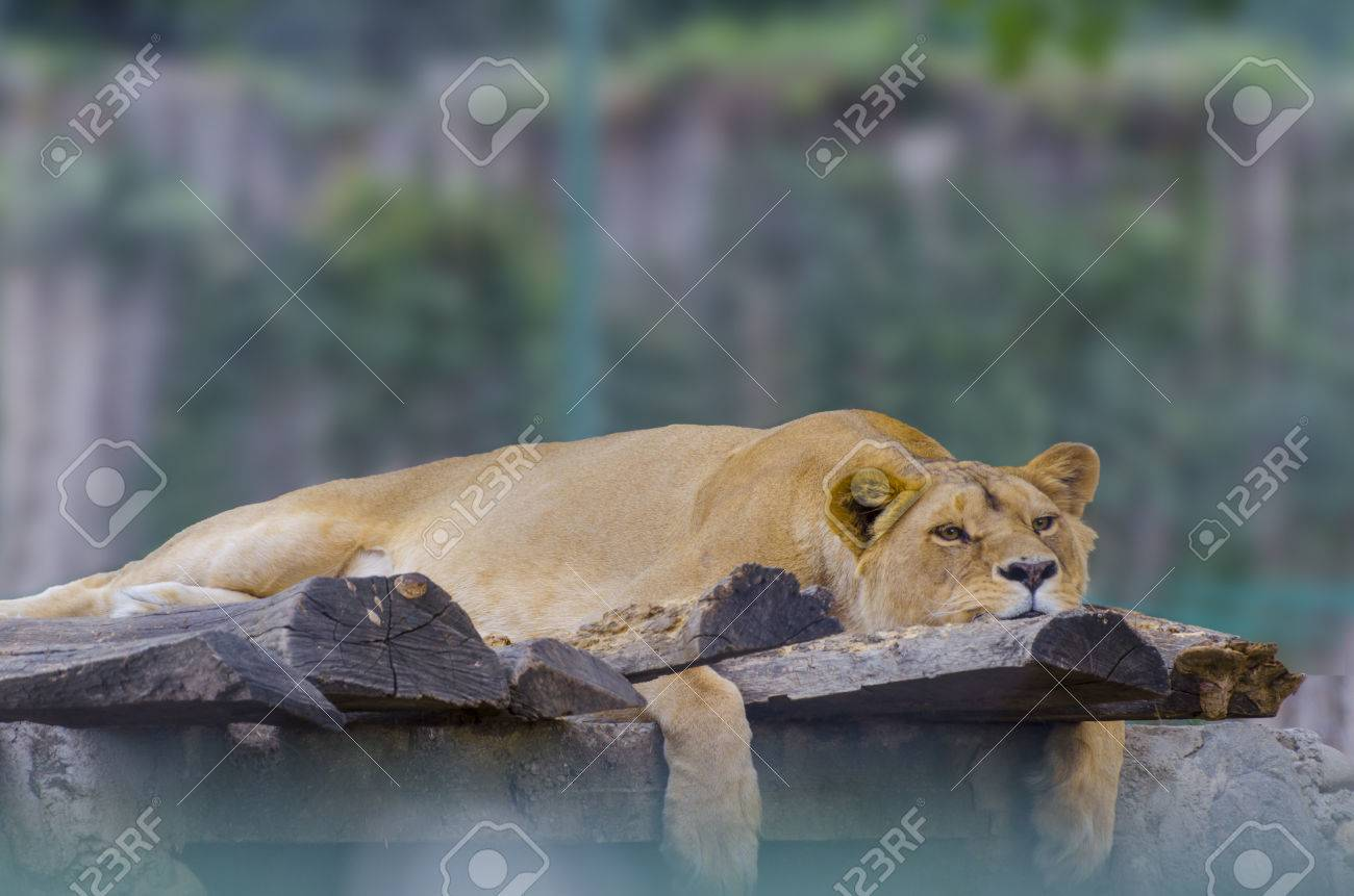 Beautiful Lion on top of a rock (Panthera leo) considered a threatened