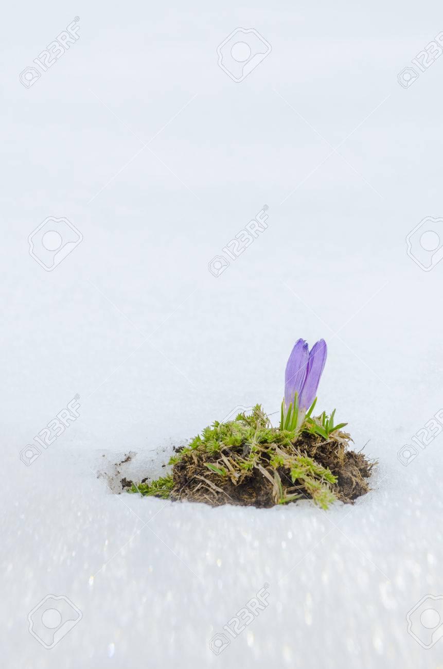Saffron Crocus First Spring Flower Closeup Between Melting Snow