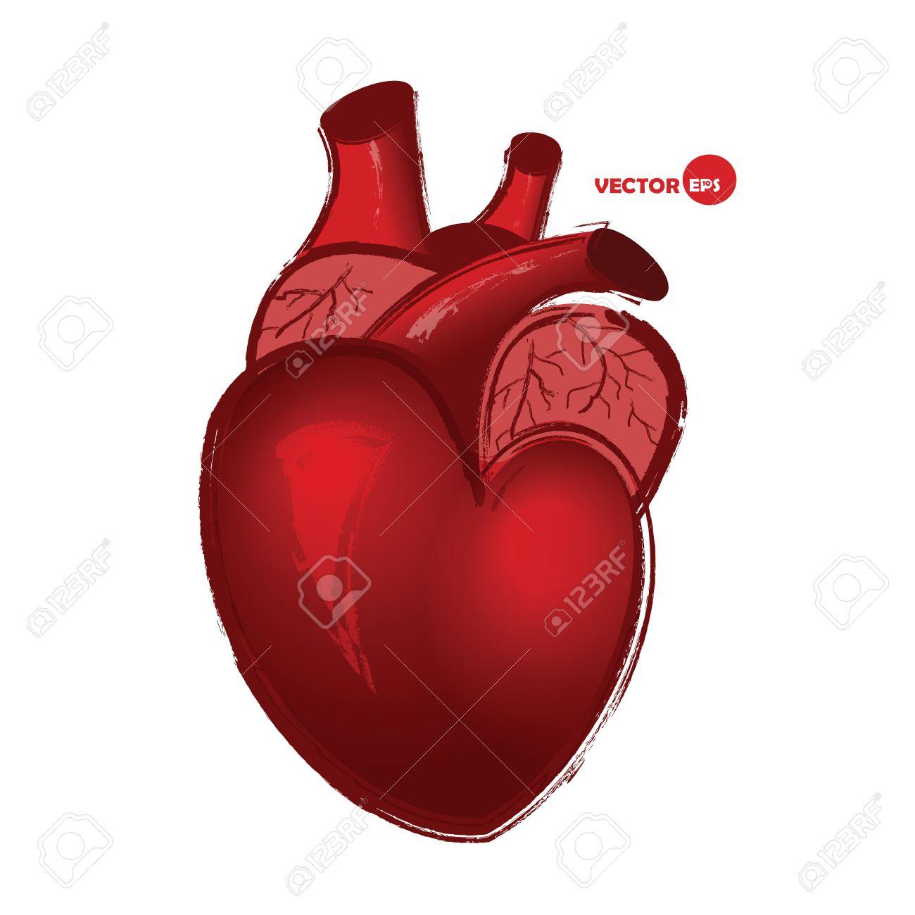 Corazón Humano Anatómico Sobre Fondo Blanco, Dibujo En Estilo De ...