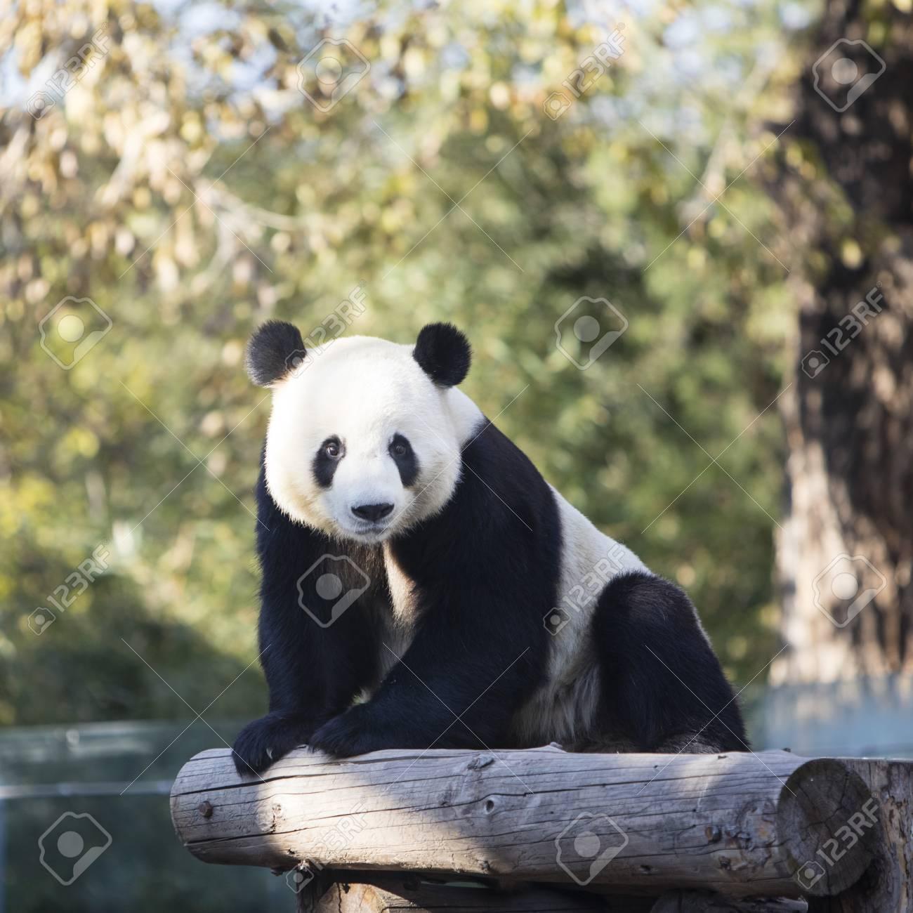 A giant panda in the zoo - 89745418