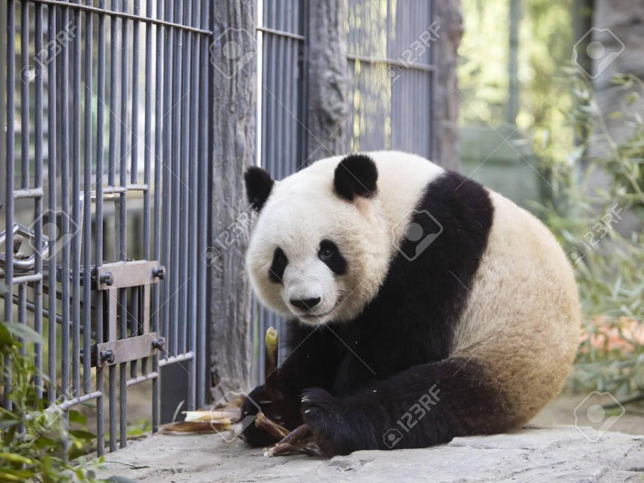 a giant panda in the zoo - 107204777