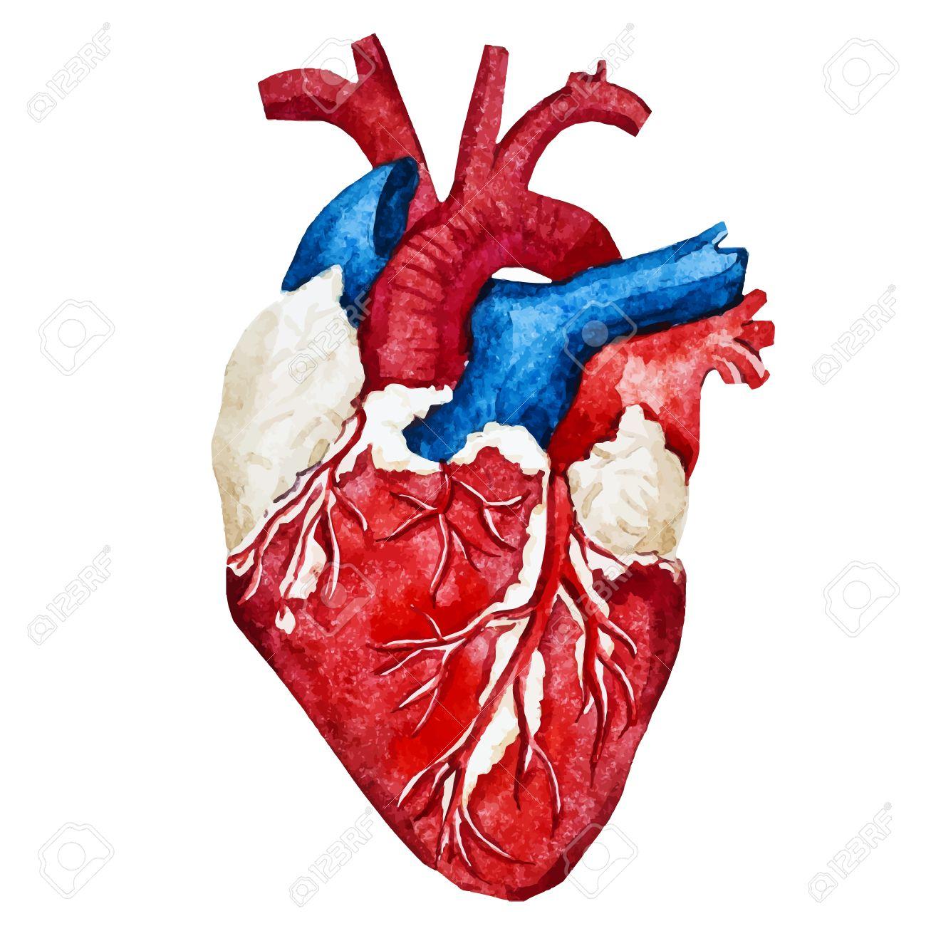 Großzügig Bild Des Menschlichen Herzens Im Körper Zeitgenössisch ...