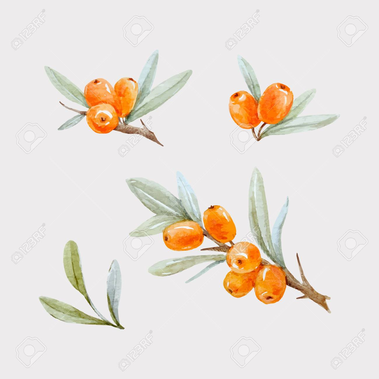 Beautiful watercolor vector illustration of sea buckthorn berries with leaves on transparent background - 81376448