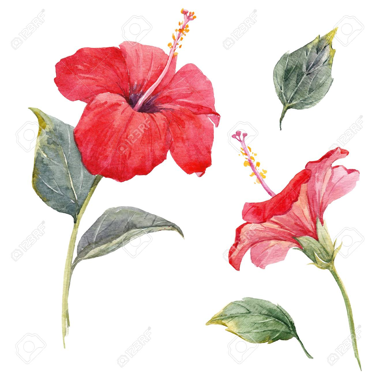 Watercolor Hibiscus Flower Set Stock Photo Picture And Royalty Free