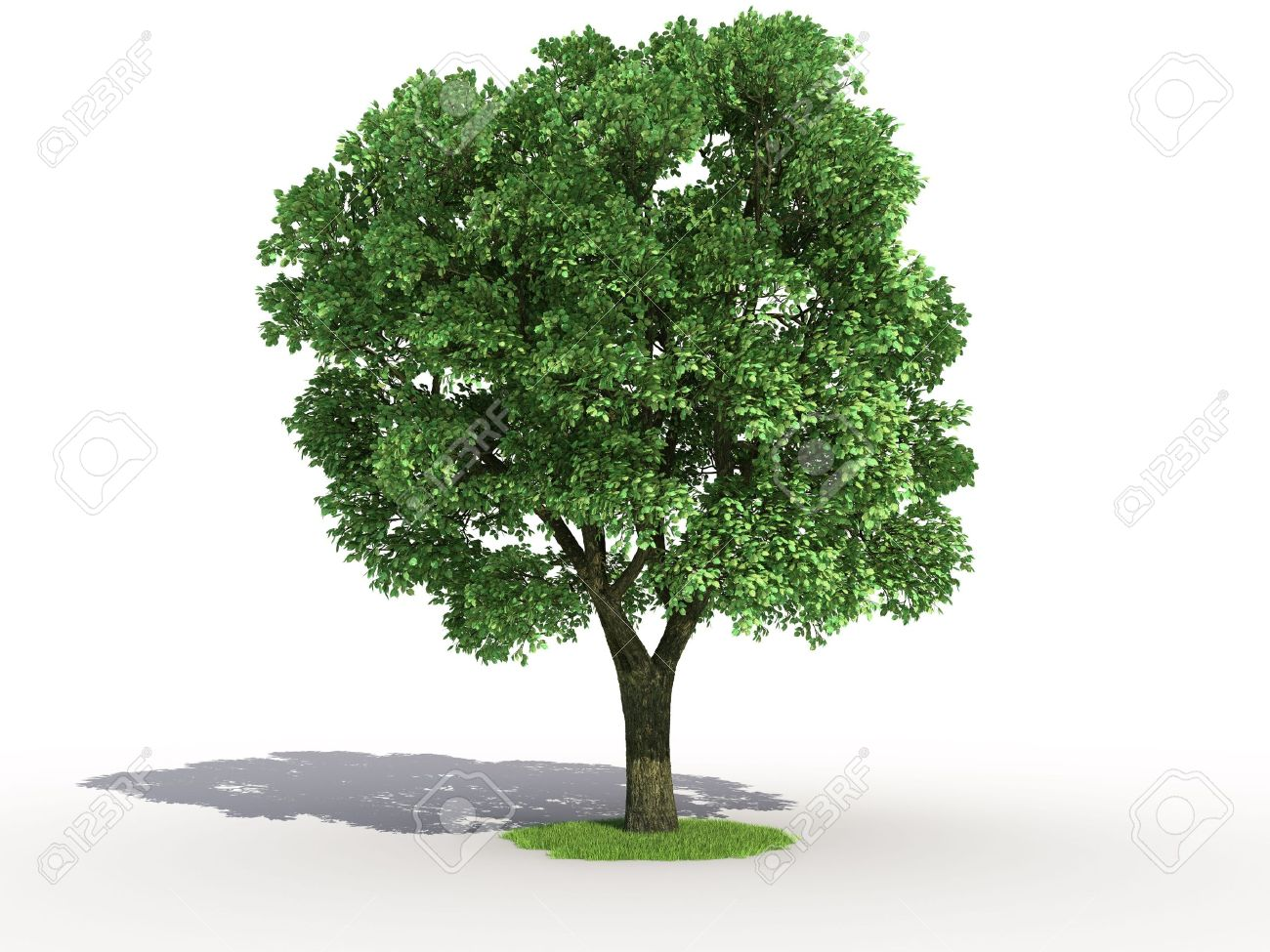 3d rendering of an isolated elm tree Stock Photo - 3560532