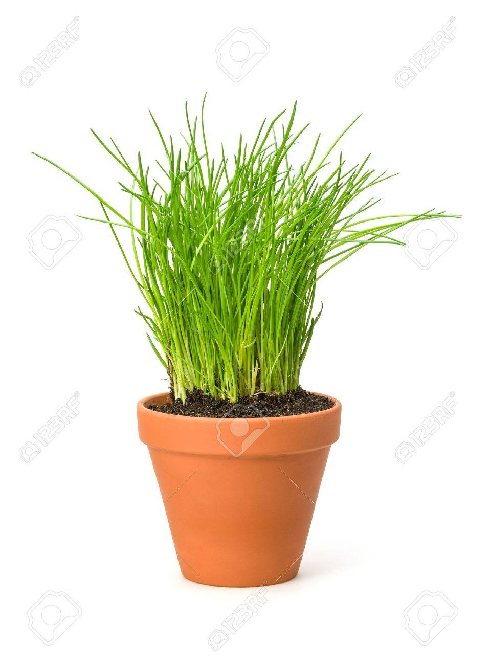 Chives in a clay pot Stock Photo - 18443307