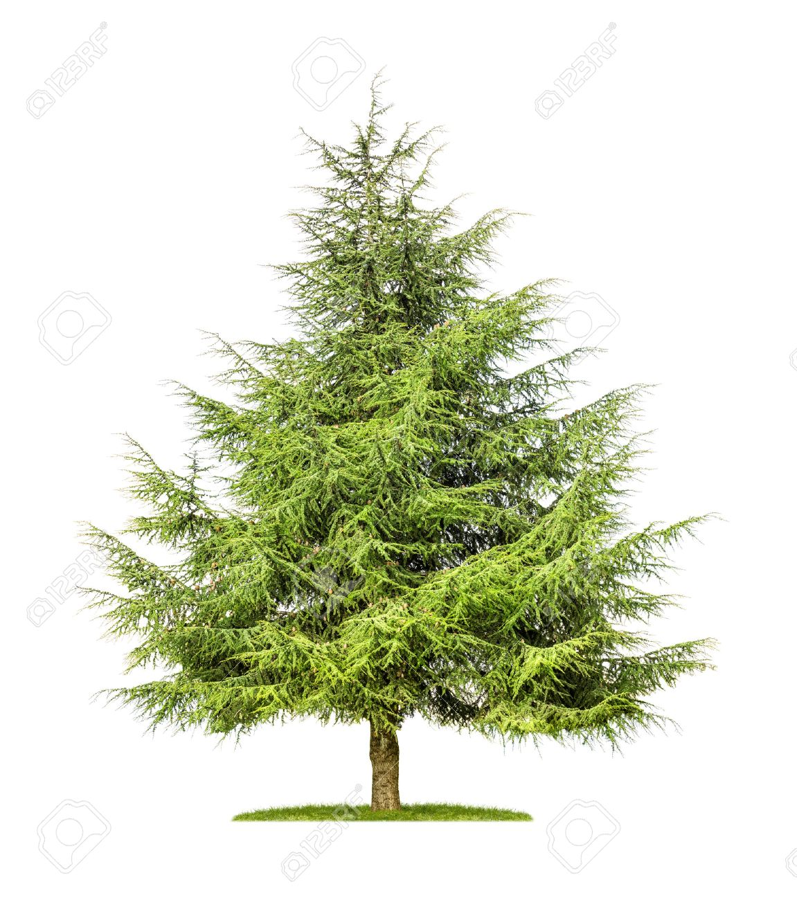 Pictures of cedar trees - Cedar Tree Isolated Cedar Tree On A White Background
