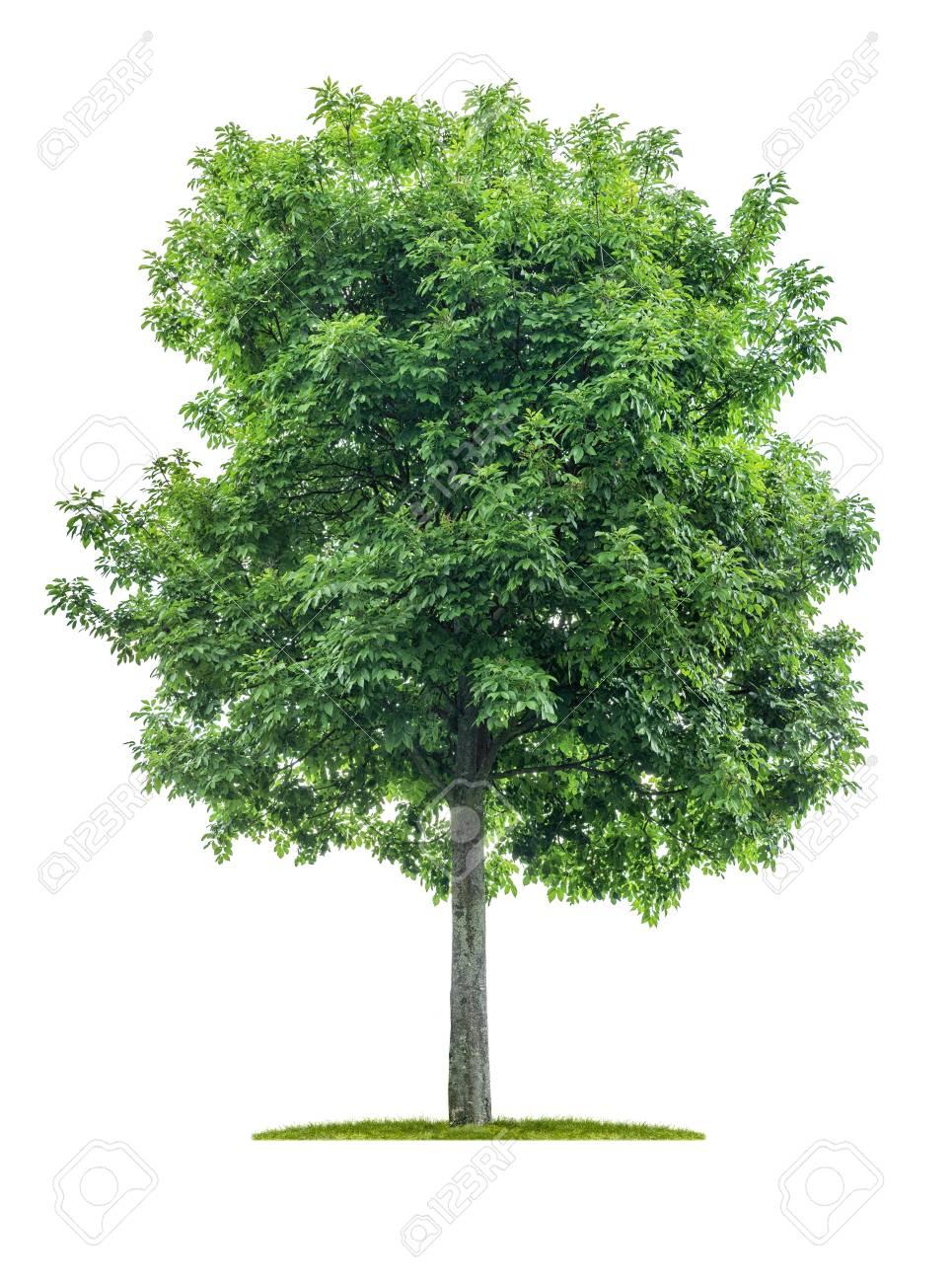 Isolated tree on a white background - Acer negundo - Maple ash - 125517159
