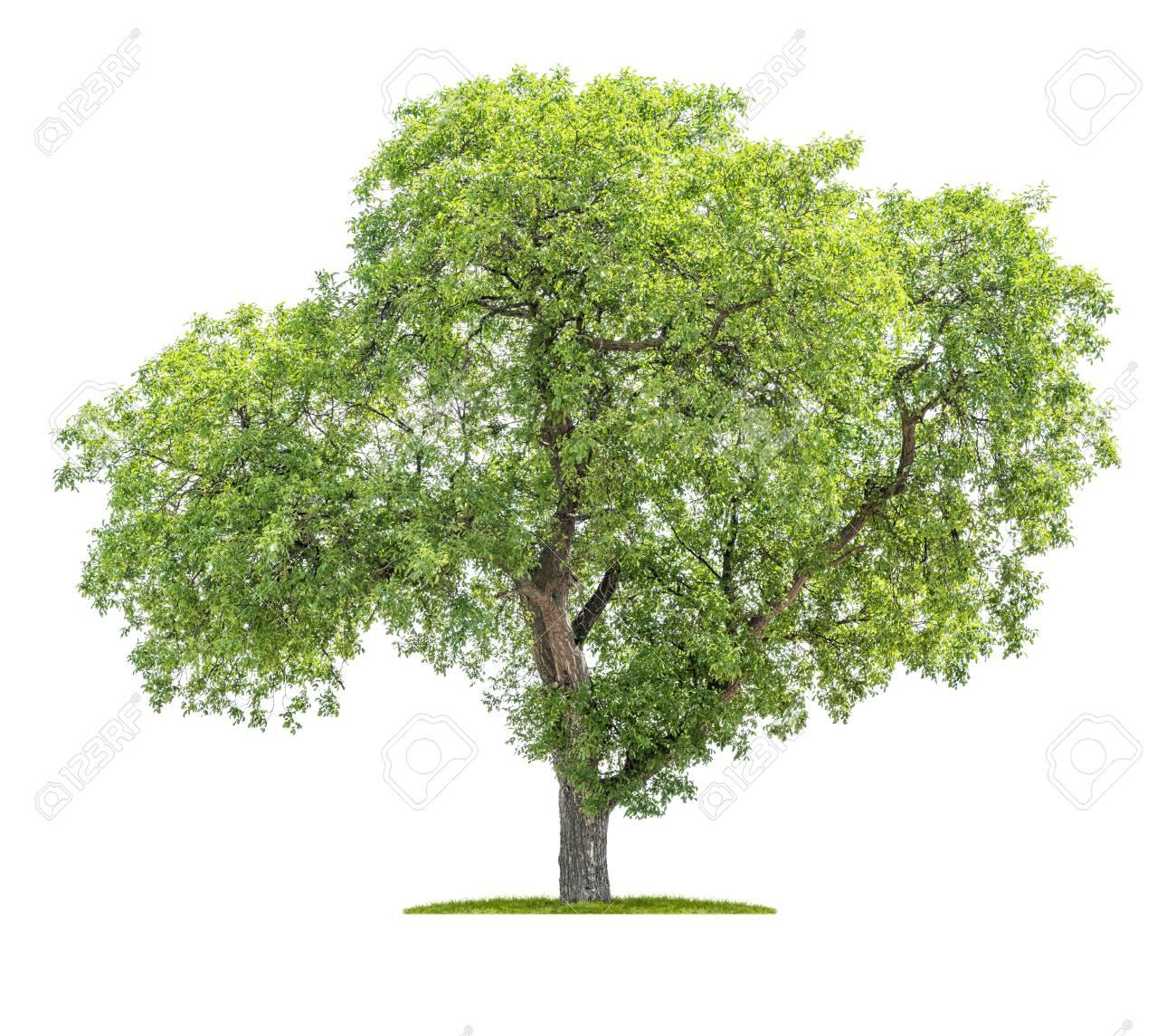 Isolated tree on a white background - Juglans regia - Walnut tree - 125517162