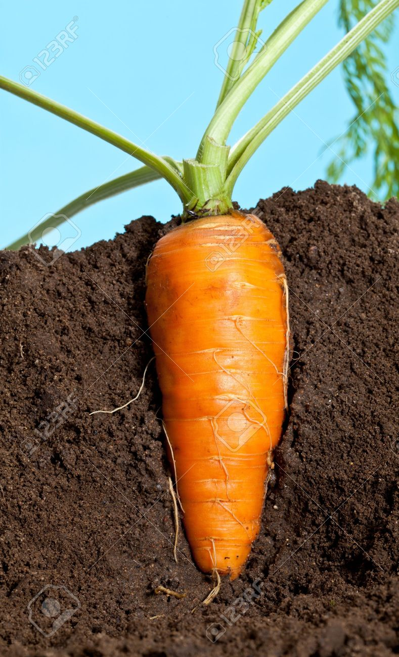 Big carrot growing in soil Stock Photo - 15909631
