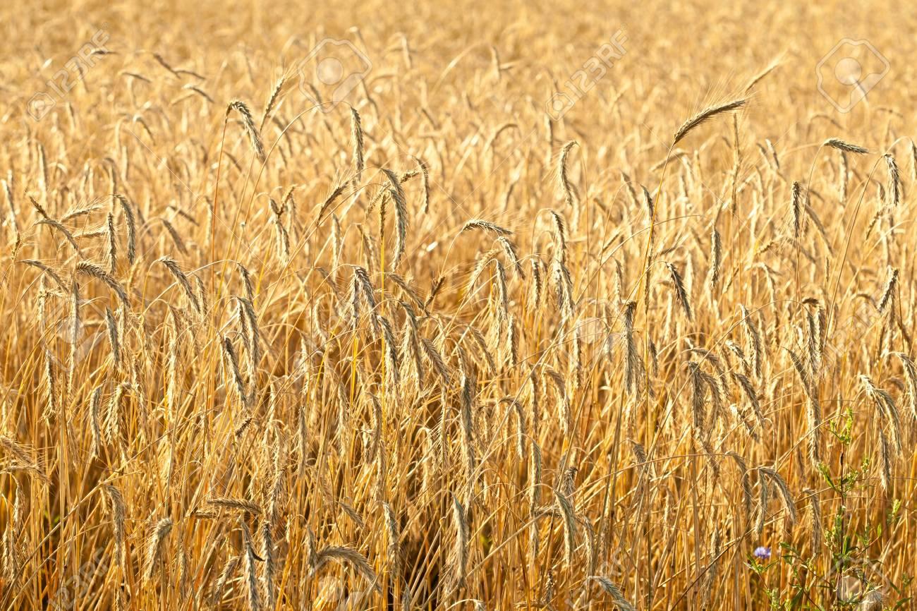 Ripe wheat in a field Stock Photo - 15910105