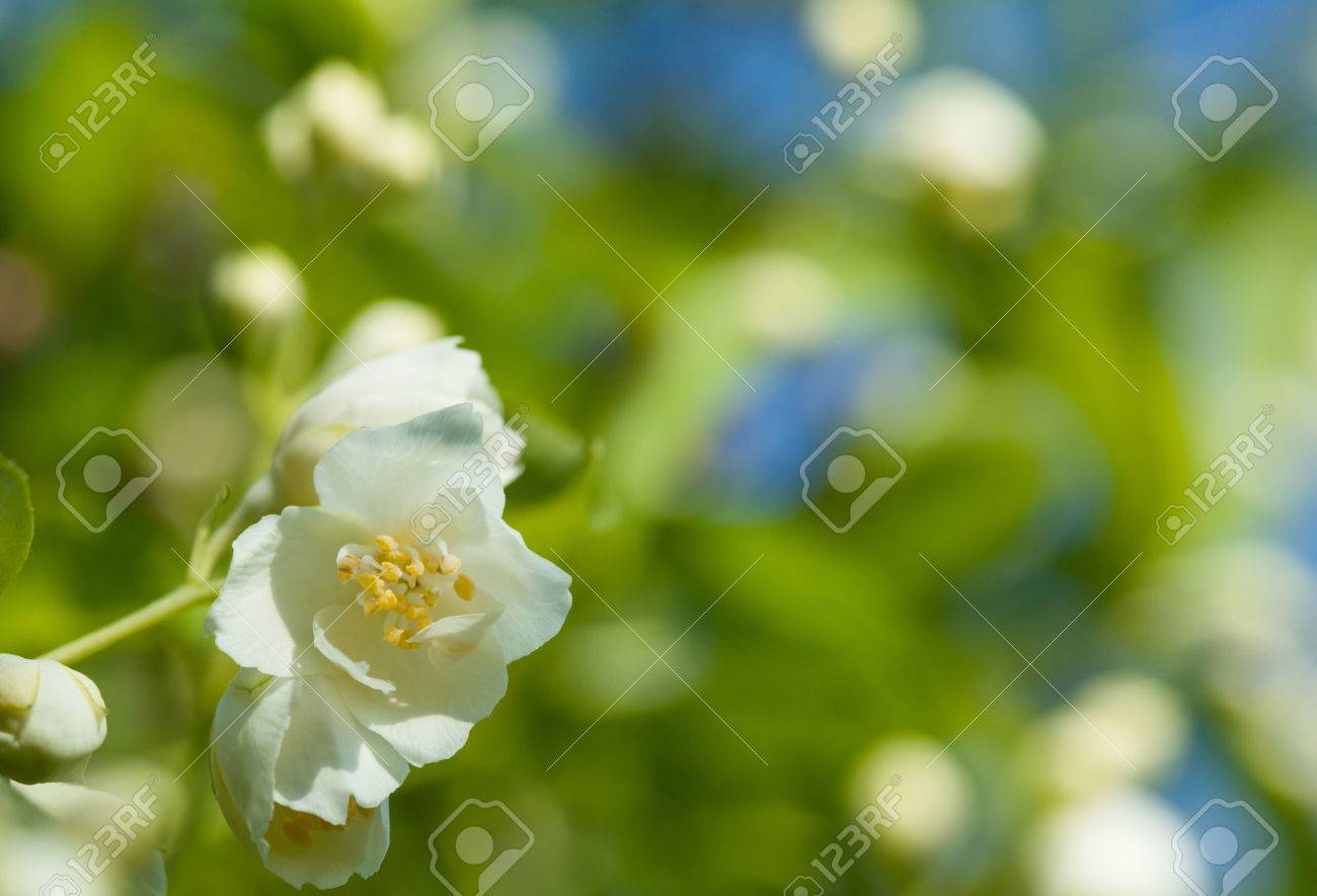 Jasmine Flowers On The Natural Background Beautiful Jasmin Flowers