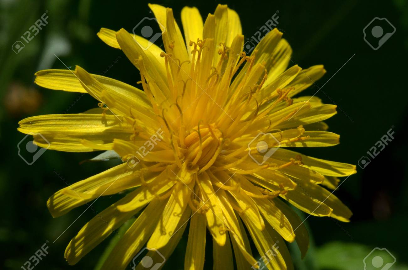 Sow Thistle Flower Stock Photo Picture And Royalty Free Image