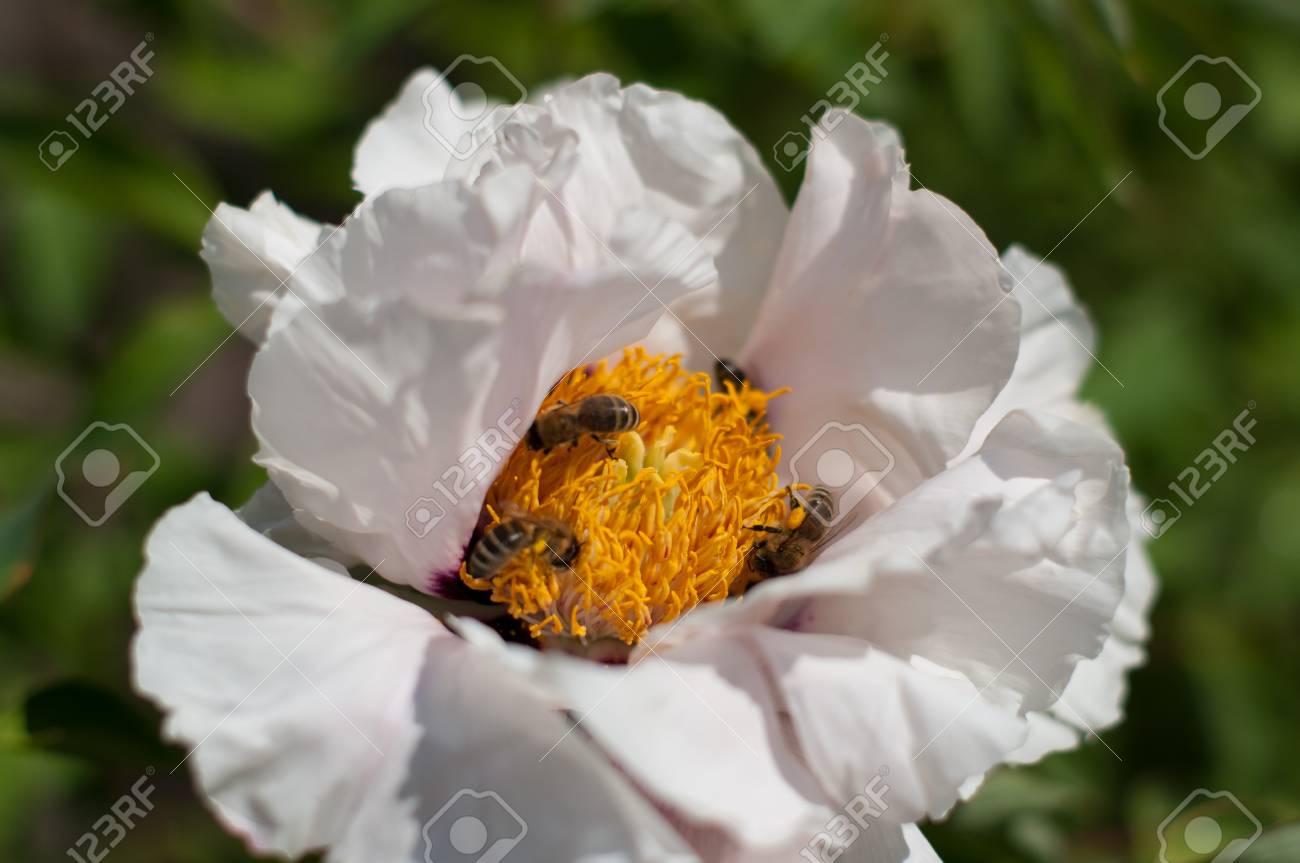 Bee hive gather pollen inside a big flower with white petals bee hive gather pollen inside a big flower with white petals flower has yellow staminas mightylinksfo