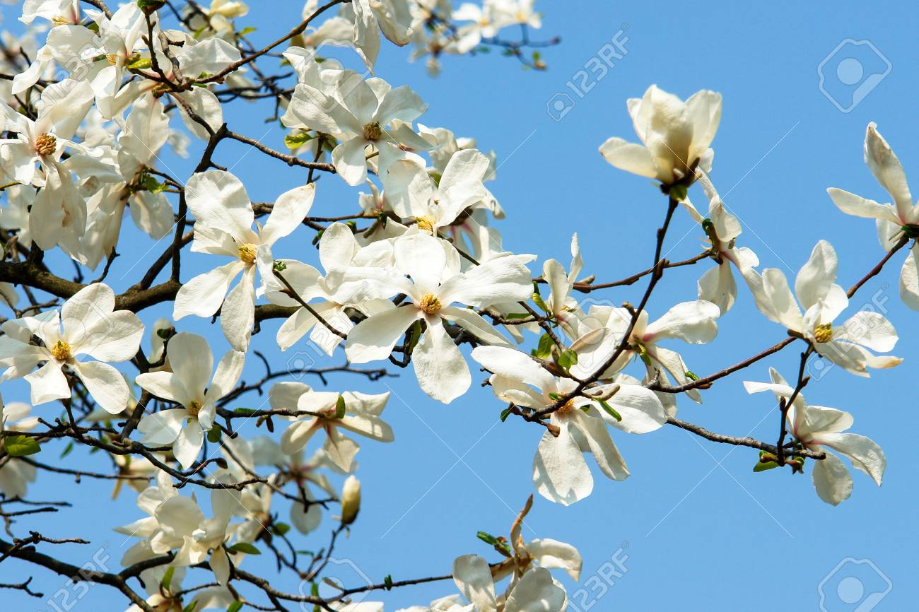 Blossom Of Magnolia Trees Magnolia Flowers Of White Color Blue