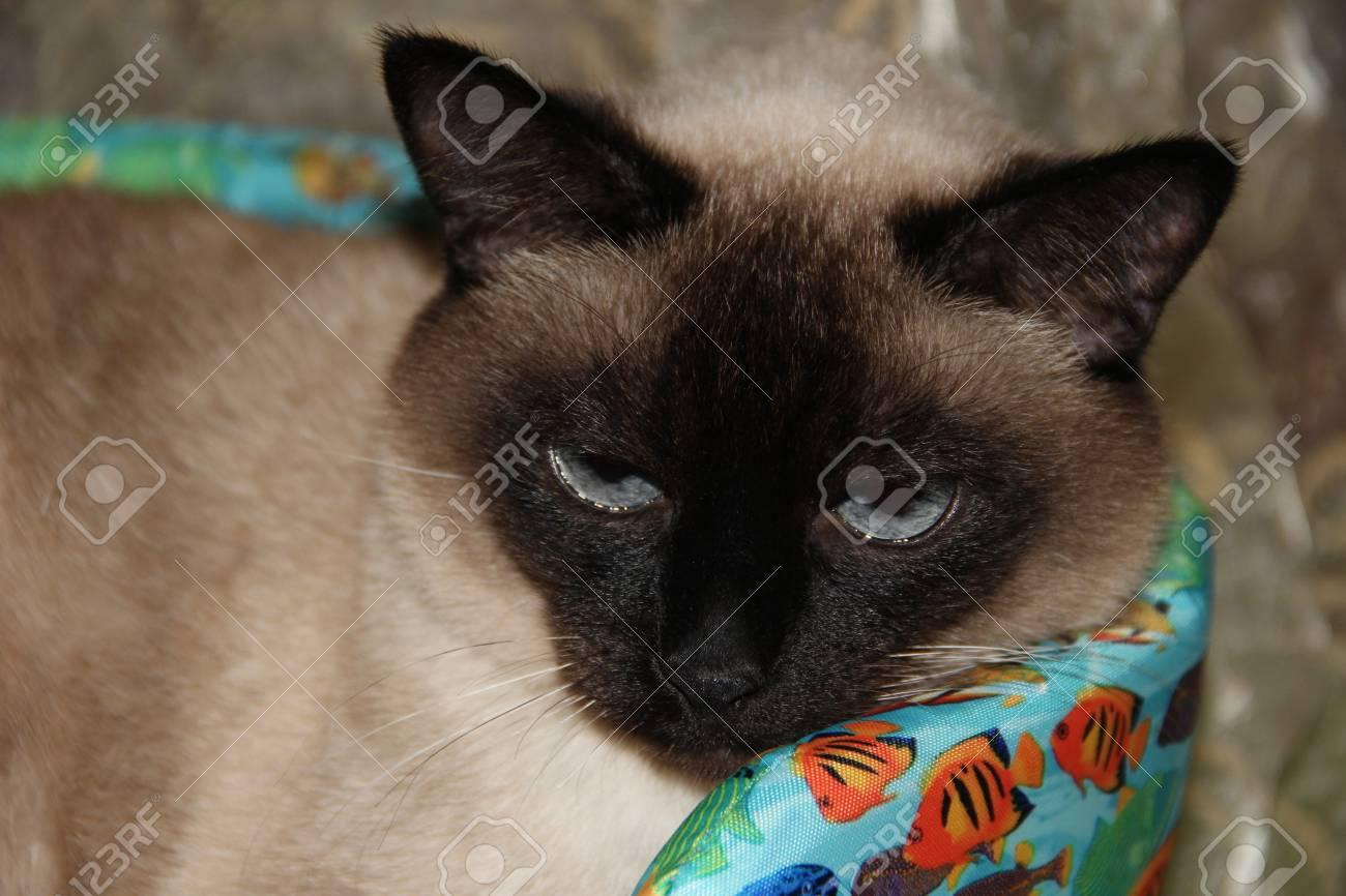 Siamese cat  Pet  Animal world  Blue eyes  Thai breed  Purebred