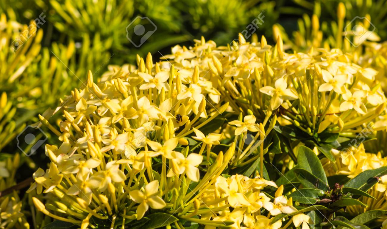 Tropical Shrub With Yellow Flowers And Evergreen Leaves Stock Photo