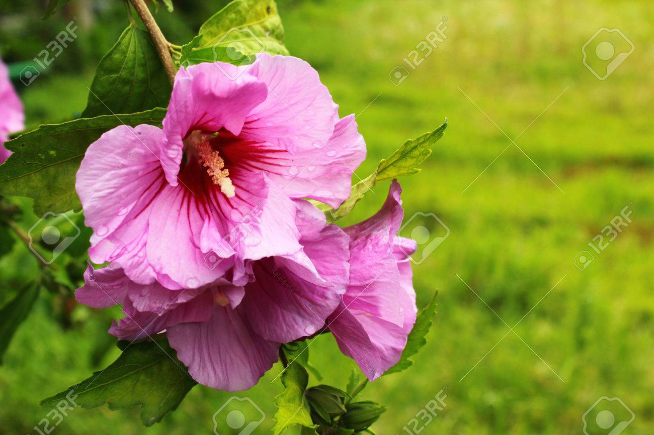 Purple Hibiscus Flowers With Water Drops After Rain Stock Photo