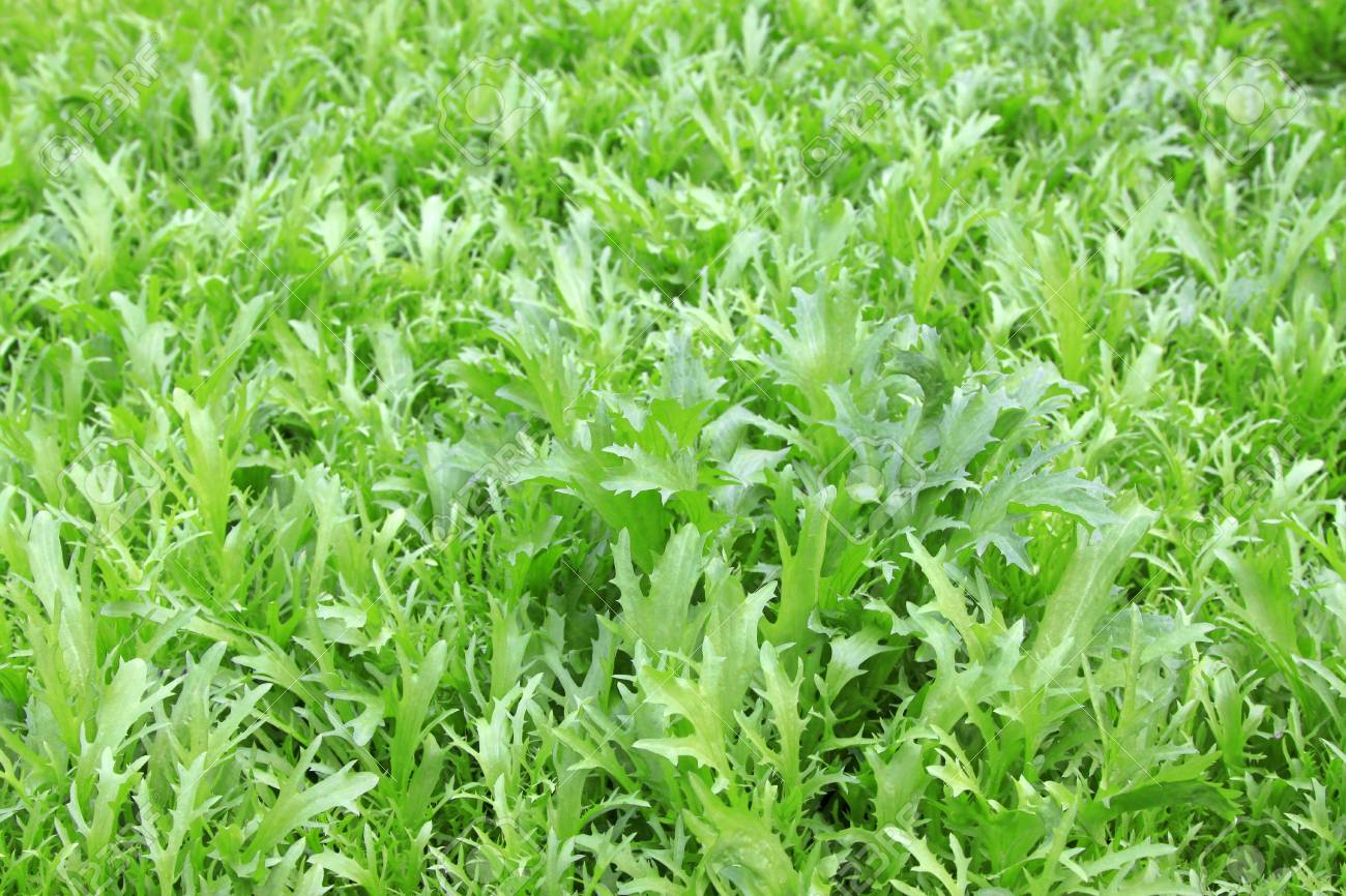 dense planting lettuce in agriculture fields Stock Photo - 18575894