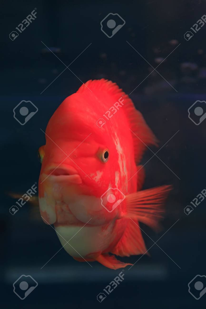 red tropical fish in an aquarium Stock Photo - 19007017
