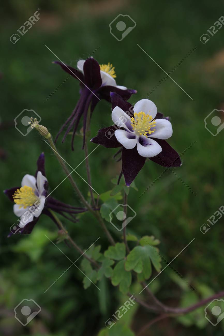Garden Columbine Flowers Closeup Of Photo Stock Photo Picture And