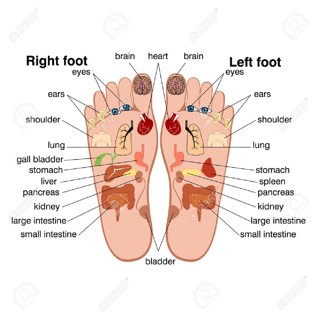 Reflexology zones of the feet royalty free cliparts vetores e banco de imagens reflexology zones of the feet ccuart Images