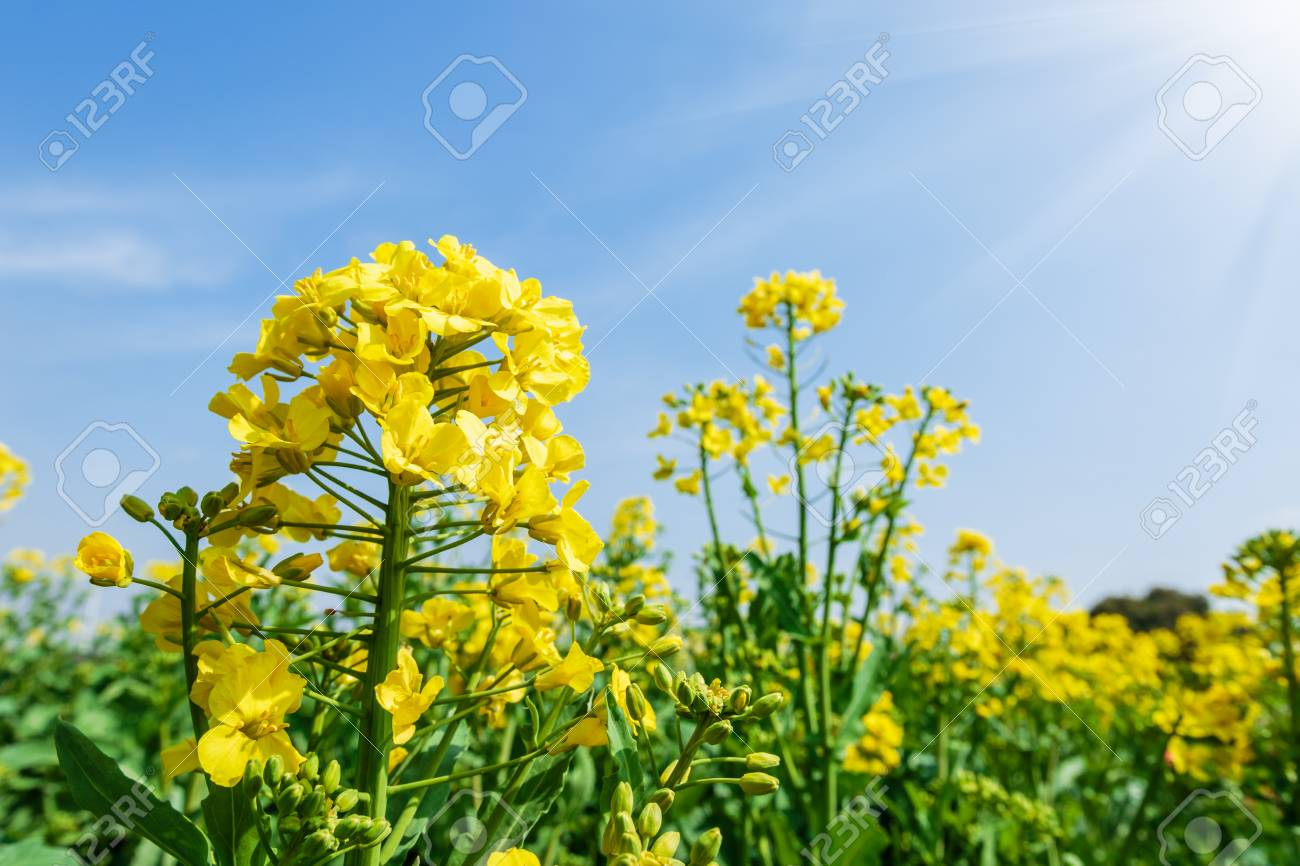 Yellow Canola Flowers Bloom In Farmland Stock Photo Picture And