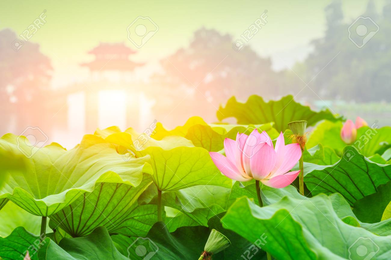 Blooming lotus flower and chinese pavilion architectural landscape blooming lotus flower and chinese pavilion architectural landscape china stock photo 89183230 izmirmasajfo