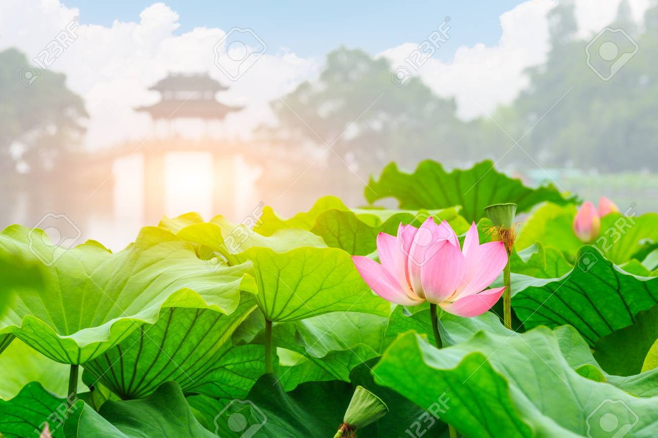 Blooming Lotus Flower And Chinese Pavilion Architectural Landscape