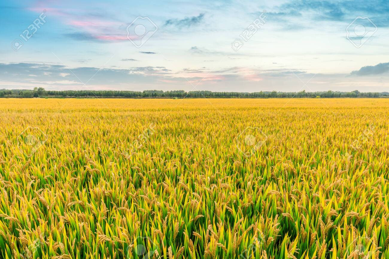 Ripe rice field and sky background at sunset time with sun rays - 124212904